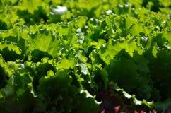 Lechuga sana que crece en el suelo Imagen de archivo