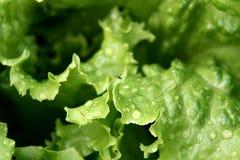 Lechuga verde Fotos de archivo