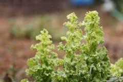Lechuga verde. Fotos de archivo libres de regalías