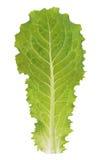 Lechuga verde Foto de archivo libre de regalías