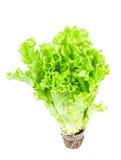 Lechuga verde fresca con la raíz Imágenes de archivo libres de regalías