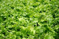 Lechuga verde fresca en granja vegetal orgánica imagen de archivo