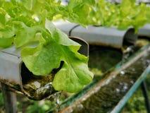 Lechuga verde, roble rojo, roble verde, iceberg del frillice, granja del ‹del hydroponic†del cultivo verdura verde en mercado d imagen de archivo