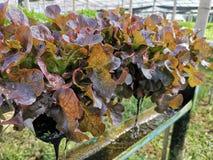 Lechuga verde, roble rojo, roble verde, iceberg del frillice, granja del ‹del hydroponic†del cultivo verdura verde en mercado d imagenes de archivo