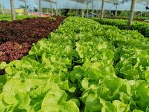 Lechuga verde, roble rojo, roble verde, iceberg del frillice, granja del ‹del hydroponic†del cultivo verdura verde en mercado d imagen de archivo libre de regalías