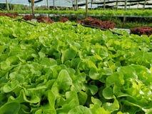 Lechuga verde, roble rojo, roble verde, iceberg del frillice, granja del ‹del hydroponic†del cultivo verdura verde en mercado d fotos de archivo libres de regalías