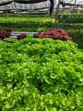 Lechuga verde, roble rojo, roble verde, iceberg del frillice, granja del ‹del hydroponic†del cultivo verdura verde en mercado d fotografía de archivo libre de regalías