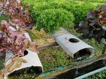 Lechuga verde, roble rojo, roble verde, iceberg del frillice, granja del ‹del hydroponic†del cultivo verdura verde en mercado d foto de archivo libre de regalías