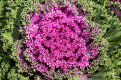 Lechuga violeta Fotos de archivo