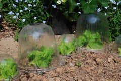 Lechugas que crecen en campanas de cristal plásticas del jardín Foto de archivo libre de regalías