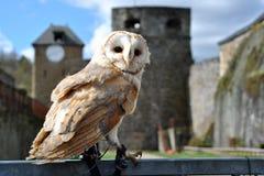 Lechuza común en el castillo Foto de archivo libre de regalías