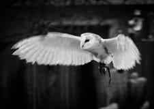 Lechuza común en vuelo Foto de archivo libre de regalías