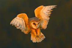 Lechuza común, pájaro ligero agradable en vuelo, en la hierba, triunfos extendidos, escena de la fauna de la acción de la natural Fotos de archivo
