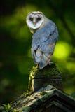 Lechuza común, Tito alba, Niza pájaro que se sienta en la cerca de piedra en el cementerio del bosque, verde claro borroso agrada Foto de archivo