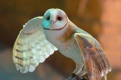 Lechuza común (Tyto alba) Fotos de archivo