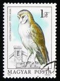 Lechuza común (Tyto alba), búhos de la serie, circa 1984 Foto de archivo libre de regalías