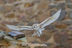 Lechuza común, Tyto alba, con las alas agradables volando en la pared de piedra, aterrizaje ligero en el castillo viejo, animal d Imagen de archivo libre de regalías