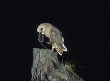Lechuza común con la rata en pico Fotos de archivo
