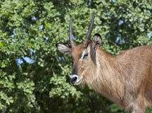 Lechwe Royalty Free Stock Image