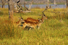 The Lechwe is an antelope found in wetlands Stock Photo