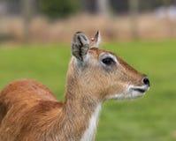 Lechwe antilop royaltyfri fotografi