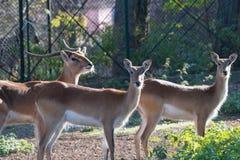 Lechwe brown antelope feeding on grass. Herbivorous animal Stock Images