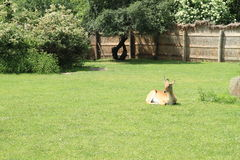 Lechwe de rouge d'antilope Images stock
