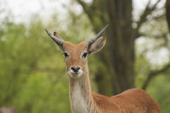 Lechwe Stock Images