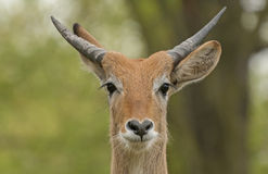 Lechwe Stock Photos