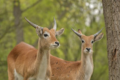 Lechwe Stock Photo