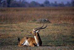 Lechwe (kobus leche) Royalty Free Stock Photography