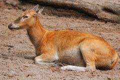 The lechwe Kobus leche. Red lechwe or southern lechwe, is an antelope found in wetlands of south central Africa royalty free stock photo