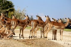 Antilope lechwe or Kobus leche. The lechwe or Kobus leche, red lechwe or southern lechwe, is an antelope found in wetlands of south central Africa royalty free stock photo