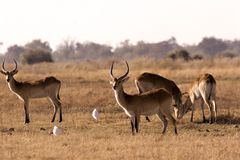 Lechwe in Moremi Stock Images