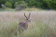 Lechwe rosso nell'erba alta Fotografia Stock