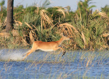 Lechwe running. A female lechwe runs through the shallow water of the Okavango Delta in Botswana, Africa Royalty Free Stock Photography