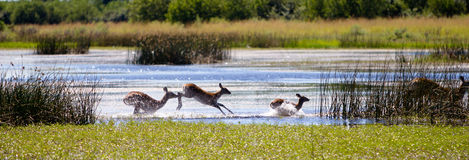 Lechwe running. Through the water in Botswana Stock Photos