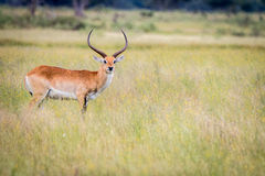 A Lechwe starring at the camera. Stock Photo