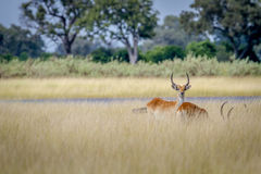 Lechwe starring at the camera. Lechwe starring at the camera in the Okavango Delta, Botswana Stock Images