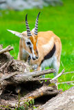 Lechwe waterbuck looks Royalty Free Stock Photos