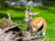 Lechwe waterbuck. Looks to the left Royalty Free Stock Photos