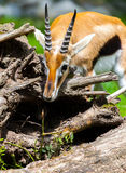 Lechwe waterbuck sniffles. On thorns Royalty Free Stock Image