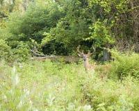 leci na jelenie whitetail Fotografia Royalty Free