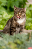 Lecken der Katze Stockfotografie