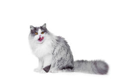 Lecken der persischen Katze, die auf getrenntem Weiß sitzt Stockfotografie