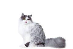 Lecken der persischen Katze, die auf getrennter Weißrückseite sitzt Lizenzfreie Stockbilder