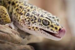 Lecken des Geckos Stockbild