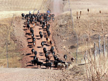 Lecteur de bétail le long d'une route de montagne Photo stock