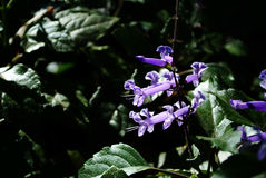 Lectranthus ecklonii flower Stock Photo