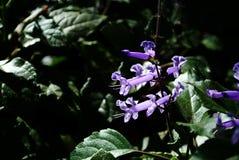Lectranthus ecklonii kwiat Zdjęcie Stock